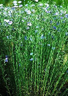 Flax with blue flowers